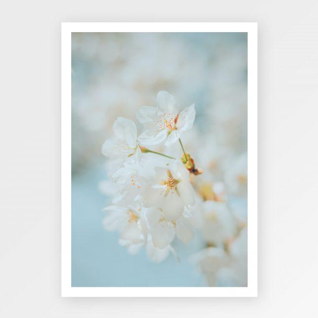 Cherry blossom detail 1