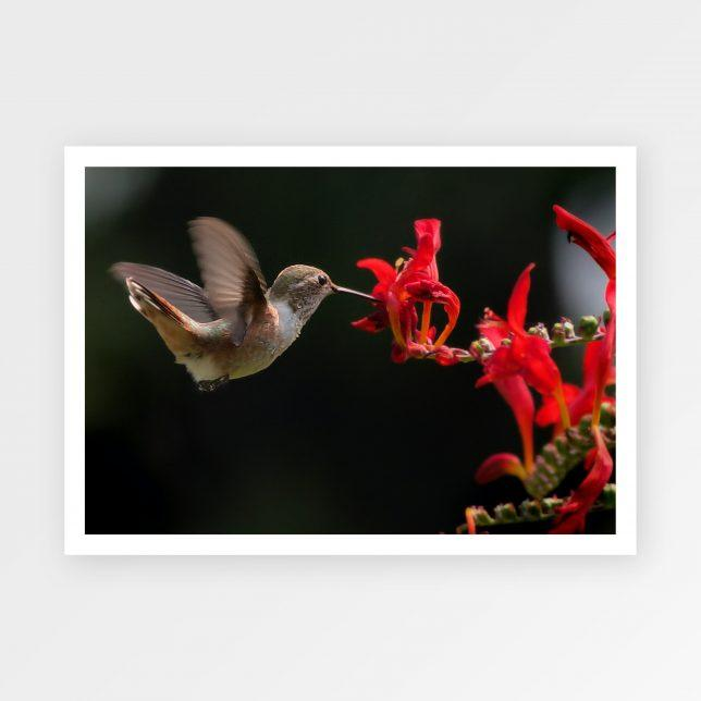 Kolibřík 1