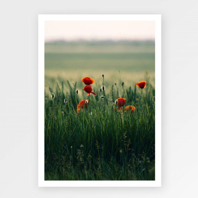 Poppy field 1